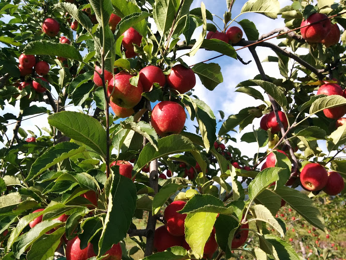 サンファームとうみ ヒメリンゴ